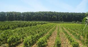 Vignoble algérien